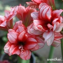 Amaryllis Joker, double flower with red and white stripes