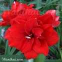 Amaryllis Inferno, red double flower
