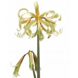 Amaryllis Saffron exotic flower