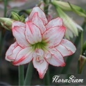 Amaryllis Aphrodite double white with pink stripes