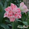 Amaryllis First Love