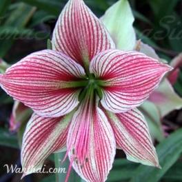 Amaryllis Exotic Star