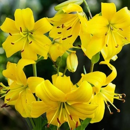 Lily Pearl Melanie beautiful golden yellow flower