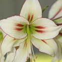 Amaryllis Dragonfly exotic flowers