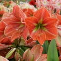 Amaryllis Terracotta Star