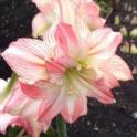 Amaryllis Orange Sorbet sweet pink double flowers