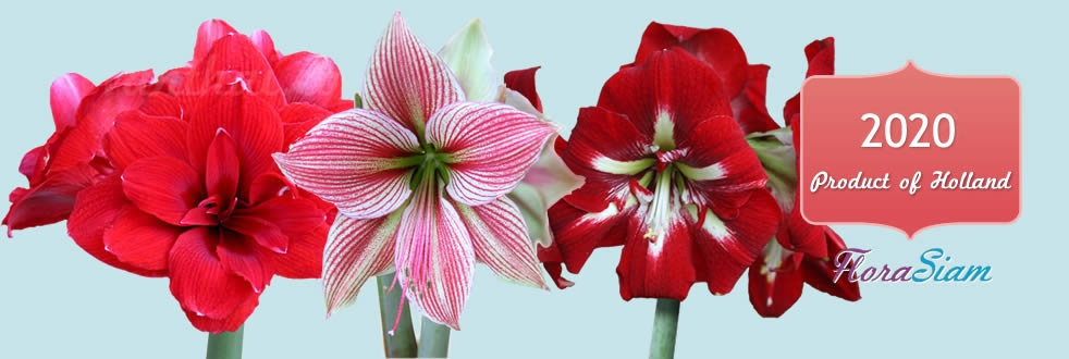 Hadeco Amaryllis is here