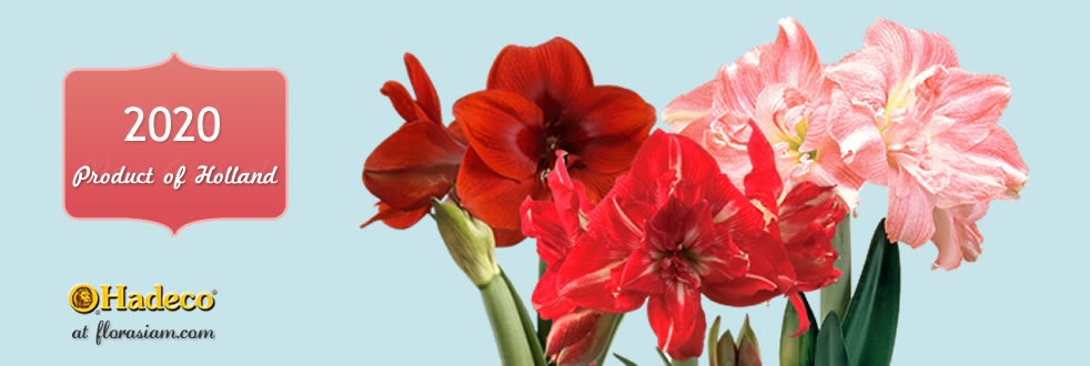 Hadeco Amaryllis are ready to ship